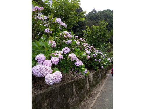 里報.tw-杉林溪繡球花季(5-8月)