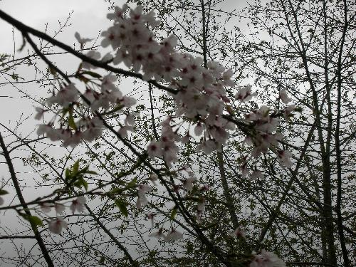 里報.tw-阿里山櫻花季