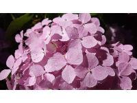 杉林溪繡球花季(5-8月)