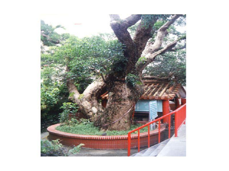 里報.tw-茄苳樹