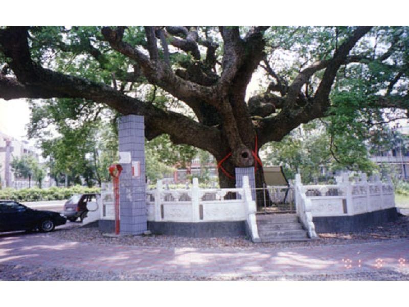 里報.tw-大樟樹